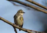 Yellow-rumped Warbler 0382