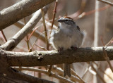 Chipping Sparrow 0604