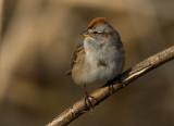American Tree Sparrow 1225