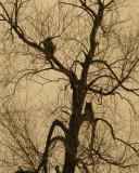 Great-horned Owl 0848