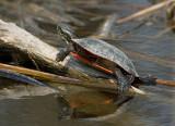 Painted Turtle 1691