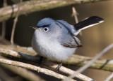 Blue-gray Gnatcatcher  2269