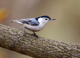 White-breasted Nutchatch 2598