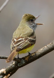 Great-crested Flycatcher 2742