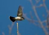 Eastern Kingbird 3249
