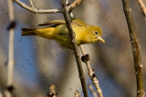 Female Summer Tanager 3284