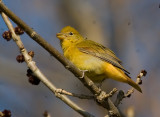 Female Summer Tanager 3313