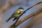 Yellow-rumped Warbler 3337