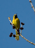 First Summer Orchard Oriole 3396