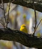 Yellow Warbler 3563