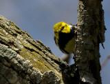 Black-throated Green Warbler 3581