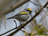Golden-winged Warbler 3648
