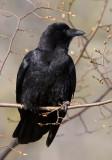 American Crow 4057.jpg