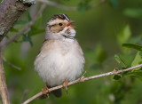 Clay-colored Sparrow 3967.jpg