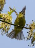 Orange-crowned Warbler 4020.jpg