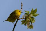 Yellow Warbler 4006.jpg