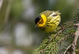 Cape May Warbler 4261.jpg