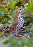 Ovenbird 4438.jpg