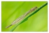 077 - Platycnemidae
