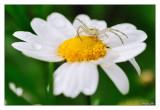 078 - Crabspider