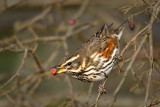 Redwing on Hawthorn