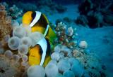 Red Sea Clownfish