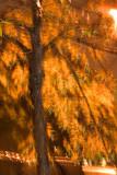 Yellow Tree, Stuyvesant Heights