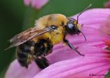 20080810 D300 032 Bee.jpg