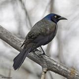 blackbirds_and_grackles