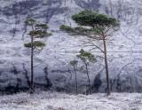 Spartan Pines