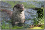Inquisitive Otter