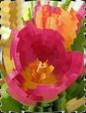 Tulips Ripple