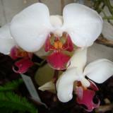Encyclia odoratissima