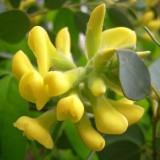 Cytisus canariensis