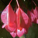 Begonia sp. Tamaya