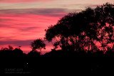 6520 Tree Silhouette, Red Dawn