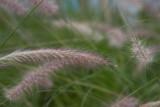 20100331_5241 Native Grass 1 (Wed 31 Mar)