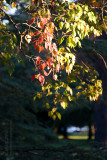 7410 Autumn Leaves, Late Afternoon Sun
