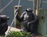 5533 Chimp Chat