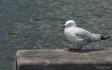 2526 Hopalong Seagull