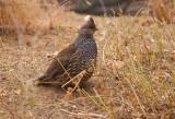 soort fazant