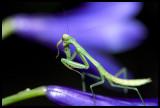 Mantis Hide and Seek