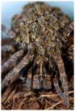 Wolf Spider Mom