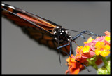 Monarch Butterfly III