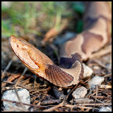Copperhead - Too Close for Comfort?