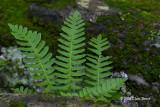 Common Polypody (Polypodium virginianum)