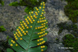 Common Polypody sori (Polypodium virginianum)