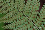 Marginal Wood Fern sori (Dryopteris marginalis)