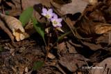 Spring Beauty (Claytonia virginica - Portulacaceae)