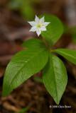 Starflower (Trientalis borealis - Primulaceae)